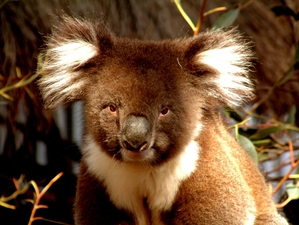 Get up close to koalas at Blackbutt Reserve in Newcastle